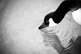 Canadian Goose III Photographic Print by Beth Wold