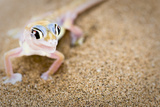 Dune Gecko I Photographic Print by Beth Wold