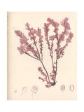 Red Botanical Study III Premium Giclee Print by Kimberly Poloson