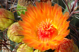 Cactus Flower II Photographic Print by Douglas Taylor