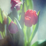 Tulips in Spring Photographic Print by Roberta Murray