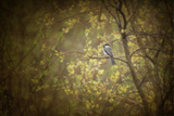 Chickadee in the Rain Reproduction photographique par Roberta Murray