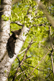 Bear Cub in Tree I Photographic Print by Beth Wold