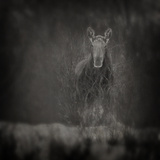 Animalia Moose Photographic Print by Roberta Murray