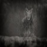 Animalia Moose Photographic Print by Roberta Murray