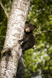 Bear Cub in Tree IV Photographic Print by Beth Wold