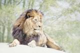 Simba Fotografie-Druck von Roberta Murray