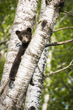 Bear Cub in Tree II Photographic Print by Beth Wold