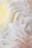 Chrysanthemum I Photographic Print by Kathy Mahan