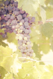 Vineyard Harvest Photographic Print by Roberta Murray
