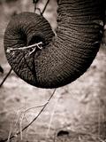 Elephant Trunk Reproduction photographique par Beth Wold
