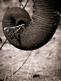 Elephant Trunk Photographic Print by Beth Wold