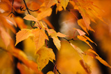 Fall Leaves I Photographic Print by Beth Wold