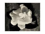 Gardenia Bloom Kunstdrucke von Amy Melious