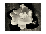 Gardenia Bloom Giclee Print by Amy Melious