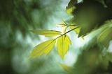 Green Leaves II Photographic Print by Beth Wold