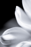 White Petals I Photographic Print by Beth Wold