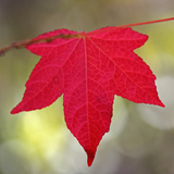 Festive Maple IV Photographic Print by Rita Crane