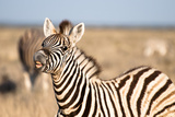 Zebra III Photographic Print by Beth Wold
