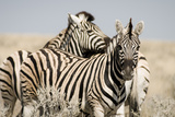 Zebra IV Photographic Print by Beth Wold