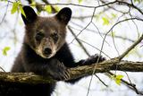 Black Bear Cub II Papier Photo par Beth Wold