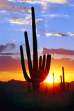 Saguaro Sunset Photographic Print by Douglas Taylor