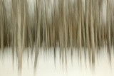 Birch Blur II Photographic Print by Larry Malvin