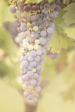 Vineyard Bounty Photographic Print by Roberta Murray