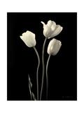 Botanical Elegance Tulips Affiches par Amy Melious