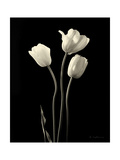 Botanical Elegance Tulips Prints by Amy Melious