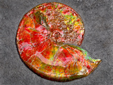 Ammonite in Matrix Photographic Print by Douglas Taylor