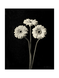 Botanical Elegance Gerbera Prints by Amy Melious