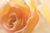 Rose gialle II Stampa fotografica di Kathy Mahan