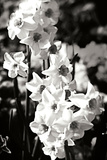 Alan Hausenflock - Daffodils II - Fotografik Baskı