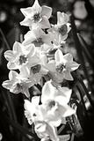 Alan Hausenflock - Daffodils I - Fotografik Baskı