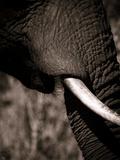 Elephant Tusk Reproduction photographique par Beth Wold