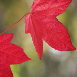 Festive Maple III Photographic Print by Rita Crane