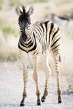 Zebra Colt II Photographic Print by Beth Wold