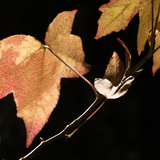 Amber Leaves IV Photographic Print by Rita Crane