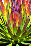 Colorful Agave II Papier Photo par Douglas Taylor