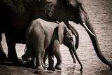 Drinking Elephants Reproduction photographique par Beth Wold