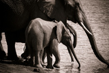 Drinking Elephants Photographic Print by Beth Wold