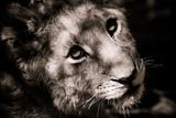 Lion Cub I Fotodruck von Beth Wold