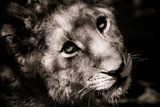 Lion Cub I Photographic Print by Beth Wold