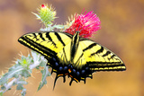 Swallowtail Photographic Print by Douglas Taylor