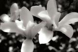 Saucer Magnolia I Fotografie-Druck von Alan Hausenflock
