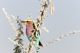 Lilac Breasted Roller II Papier Photo par Beth Wold
