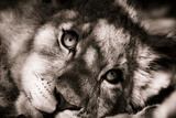 Lion Cub II Reproduction photographique par Beth Wold