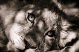 Lion Cub II Fotodruck von Beth Wold