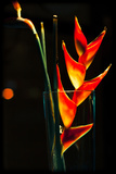 Heliconia Photographic Print by Max Hertlischka